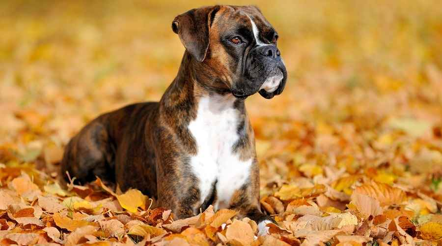 Informasi Breed Boxer, Sifat, Temperamen & Warna (Fawn, Brindle, White)