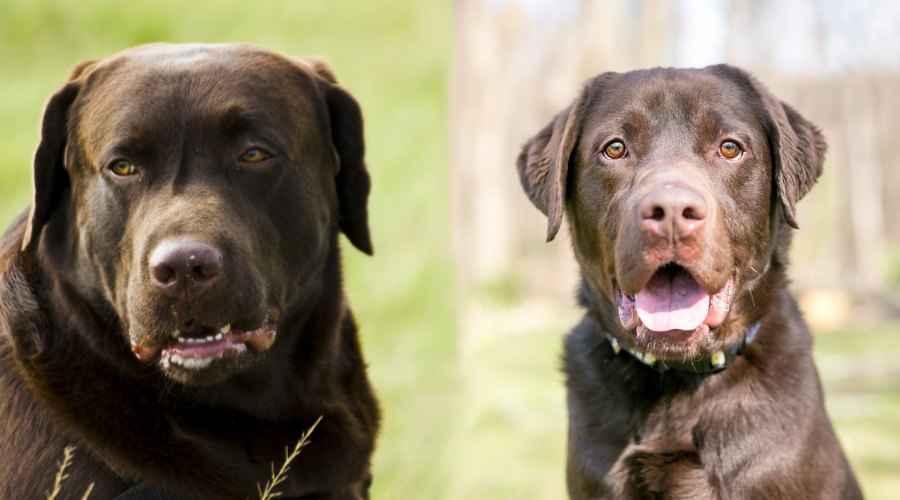 Labrador Inggris (Bench) vs. Labrador Amerika (Lapangan): Apa Perbedaannya?