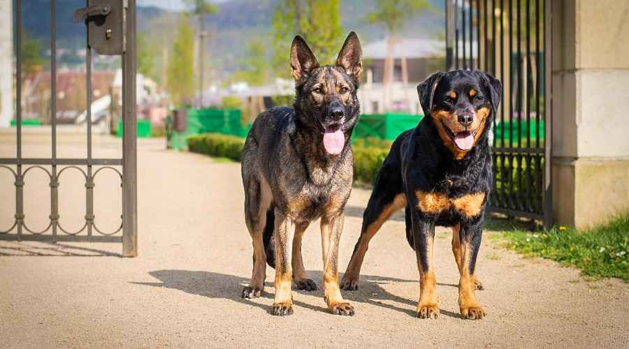 Rottweiler vs The German Shepherd: Perbandingan & Perbedaan Breed