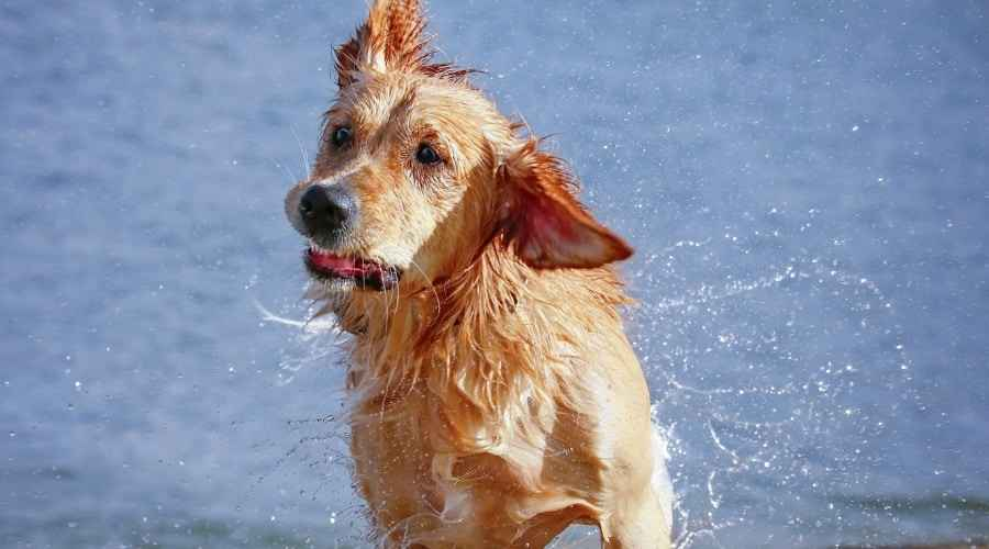 Golden Retriever Labrador Retriever Mix: Goldador Race Information