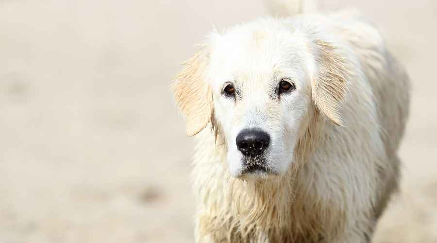 Great Pyrenees Labrador Retriever Mix: ข้อมูลพันธุ์ Pyrador
