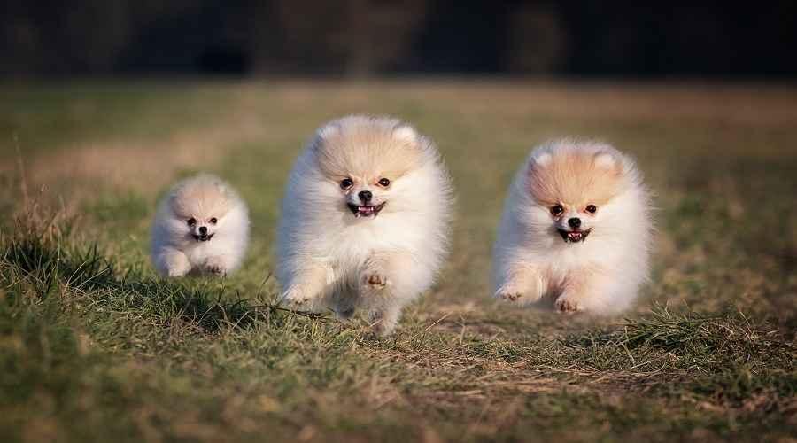 博美犬价格:博美犬幼犬多少钱?
