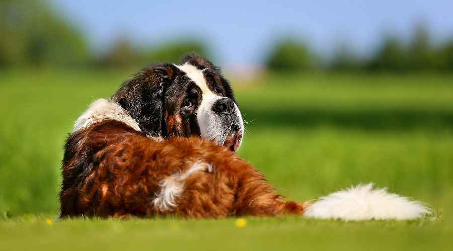 需要最少运动的懒惰和低能量犬种