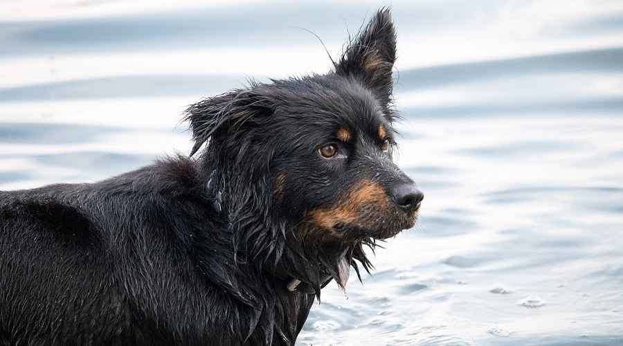 Bernese Mountain Dog German Shepherd Mix: Πληροφορίες φυλής