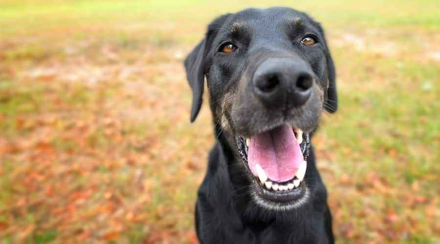 Labrador Retriever Mixes: 35 Iba't ibang Lab Crossbreeds