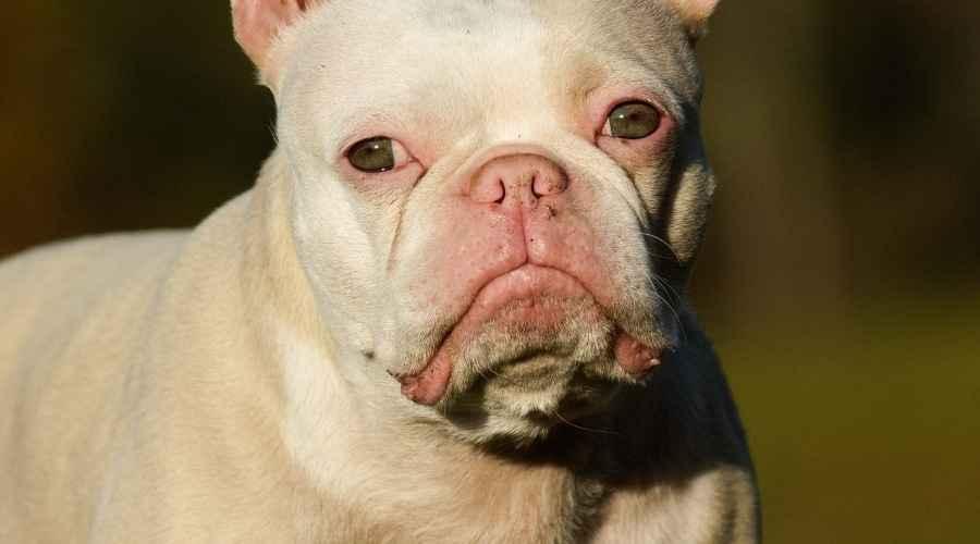 White Pugs: Η διαφορά μεταξύ των Leucistic & Albino Pups