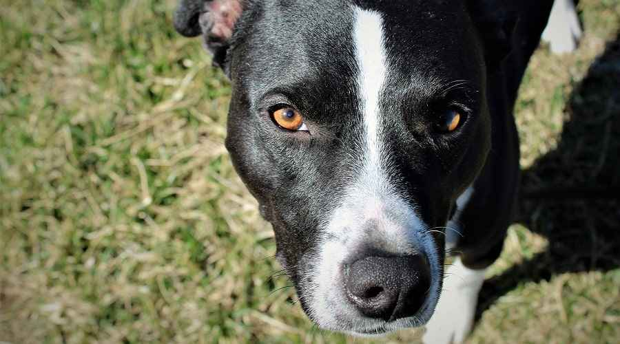 Border Collie Pitbull Mix: Impormasyon sa Lahi ng Borderbull
