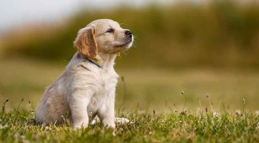 Golden Retriever Shedding: Combien les Golden Retrievers perdent-ils?