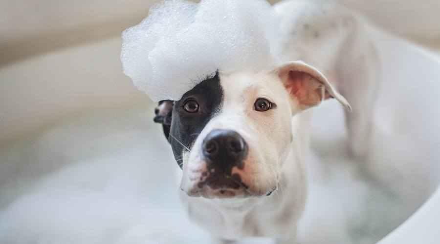 Beste shampoos voor honden met allergieën en een gevoelige jeukende huid