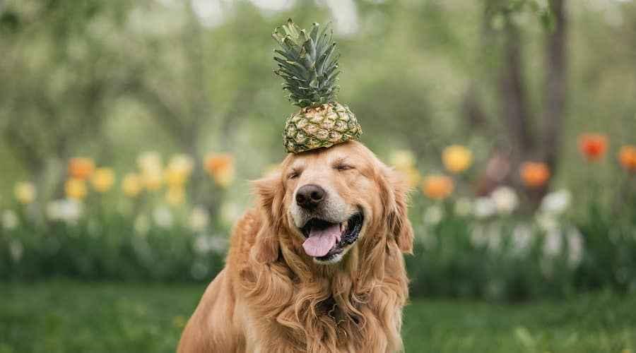 Les chiens peuvent-ils manger de l'ananas? Frais, séché, congelé ou en conserve?