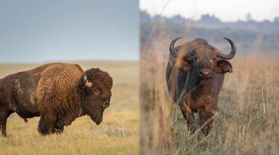 Bison vs Buffalo v jídle