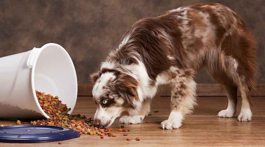 Nejlepší krmivo pro psy pro australské ovčáky: štěňata, dospělí a senioři