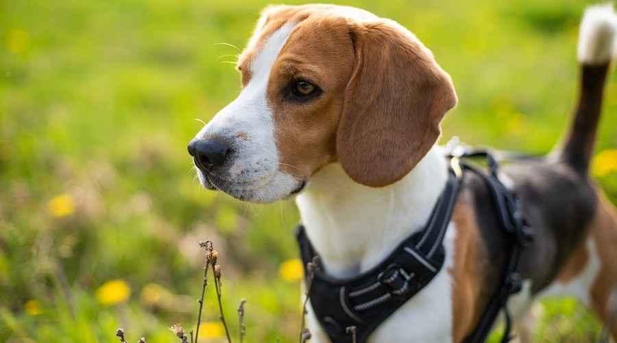 Najbolje pojaseve za beagle: ocjene, recenzije i najbolje opcije