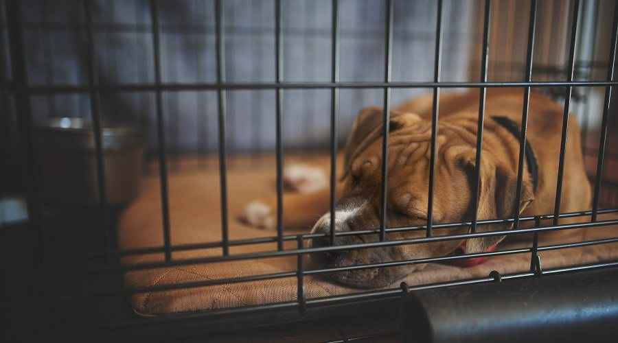 Labākās suņu kastes gultas, paliktņi un paklāji jūsu kucēnu audzētavā