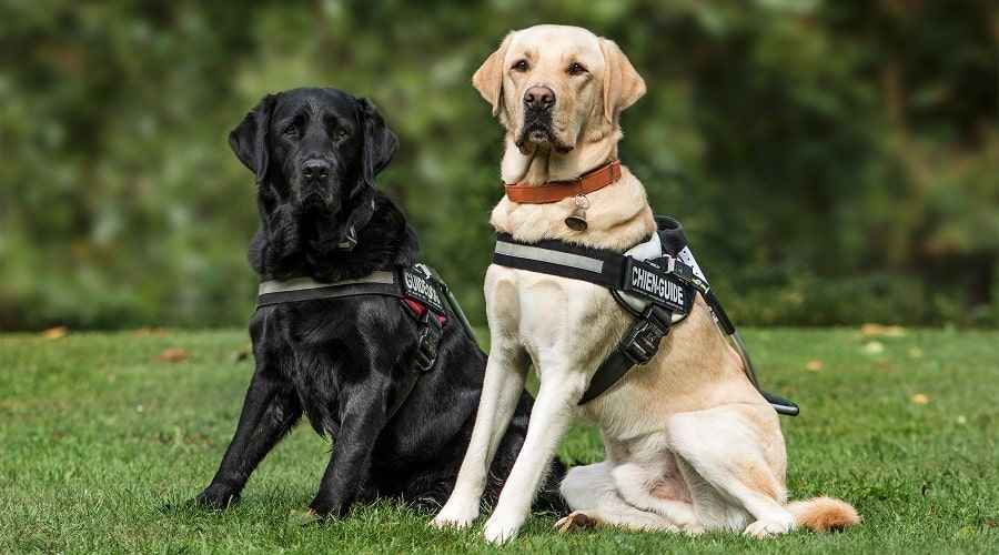 Meilleurs harnais pour labrador retrievers: notes et commentaires