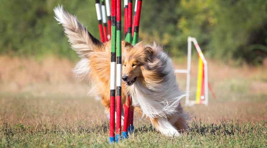 Pelatihan Ketangkasan Anjing Untuk Pemula: Kiat, Trik & Lainnya