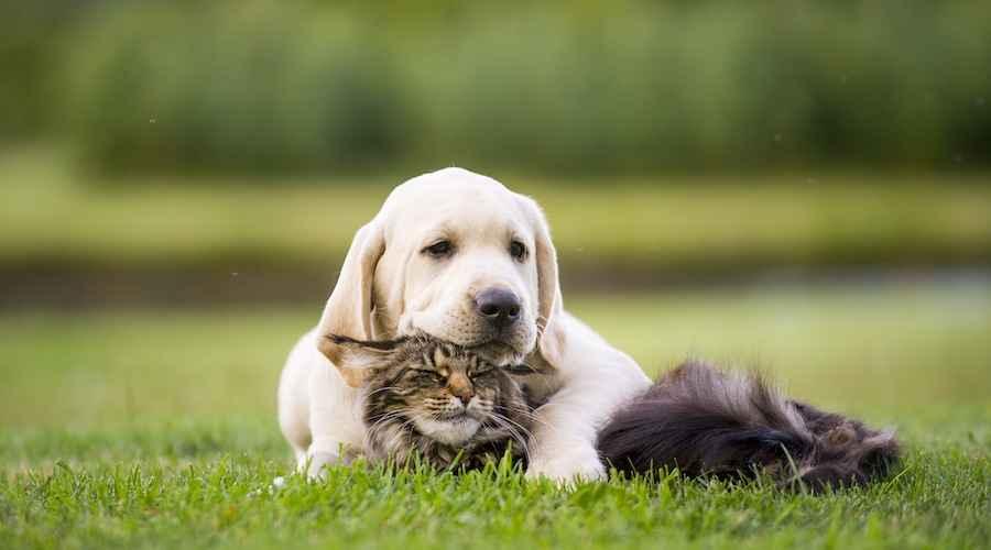 Comment présenter un chat à un chien: trucs et astuces de socialisation